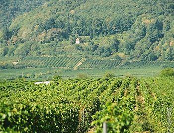 English: vineyard in Rhineland-Palatinate, Ger...