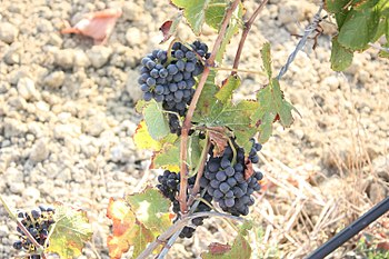 Red wine grape variety in the Italian wine reg...