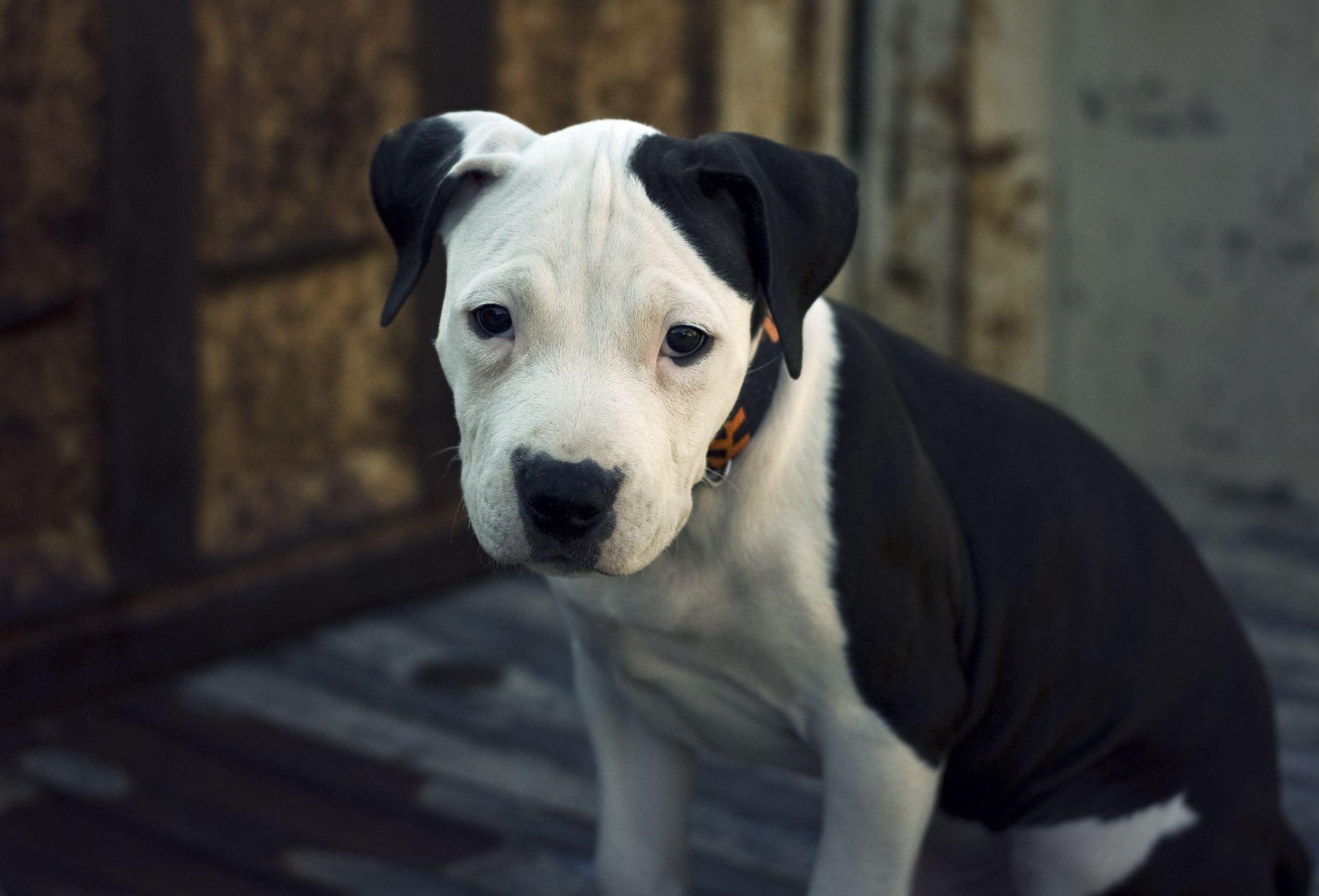 American Pit Bull Terrier Pup