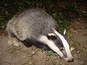 English: Young Eurasian Badger (Meles Meles) E...