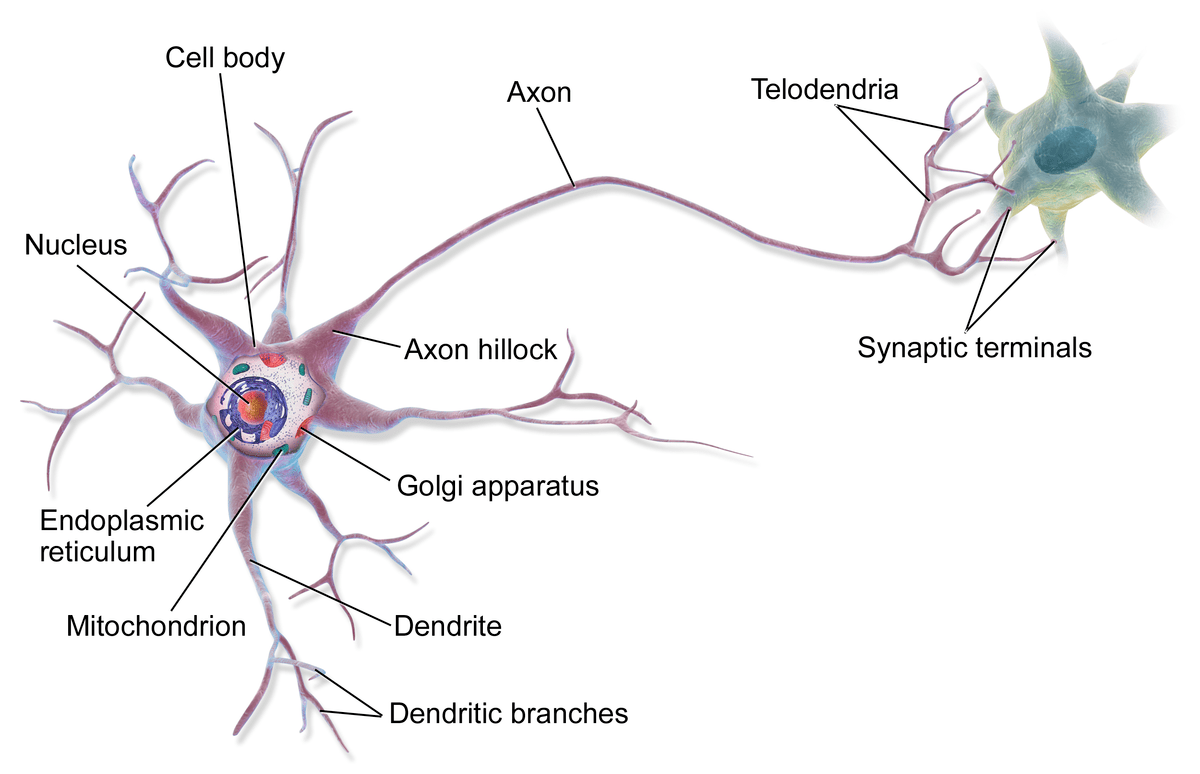 Nerve Vs Neuron Anatomy