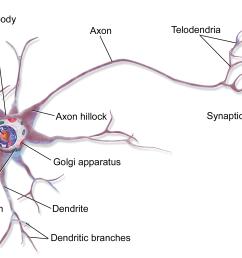 nervou system diagram full neorn [ 1200 x 774 Pixel ]