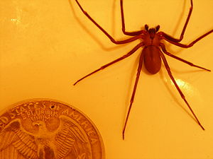 English: brown recluse compared to a quarter