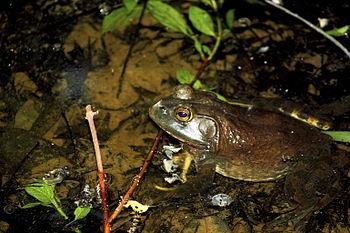 Bullfrog 001