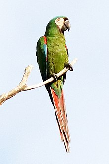 chestnut fronted macaw wikipedia