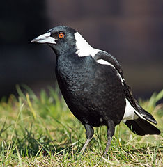 https://i0.wp.com/upload.wikimedia.org/wikipedia/commons/thumb/1/10/Cracticus_tibicen_hypoleuca_male_domain.jpg/234px-Cracticus_tibicen_hypoleuca_male_domain.jpg?resize=234%2C240