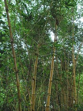 bamboo as buildings material