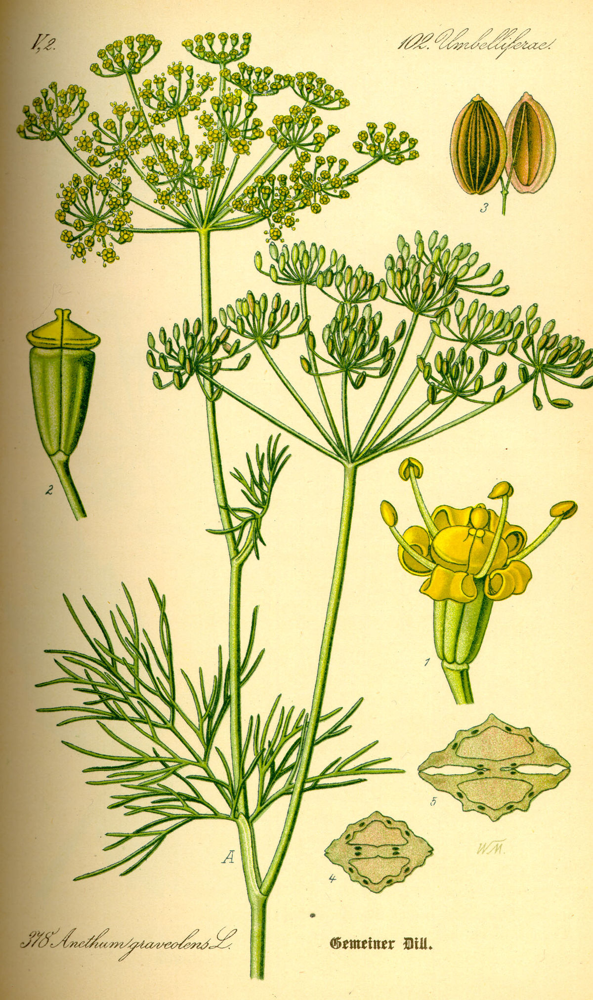 Petersilie Blüte Dill (pflanze) – Wikipedia