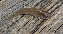 Ikan lundu, dari Bayung Lencir, Musi Banyuasin, Sumatera Selatan