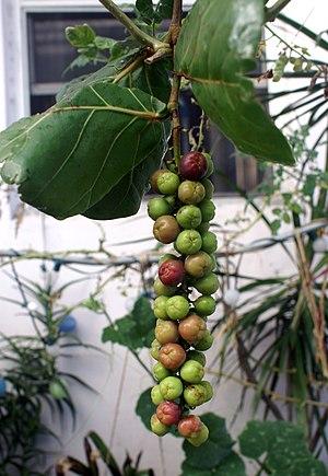 Coccoloba uvifera / Uva de playa / Sea Grape /...