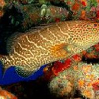 TIGER GROUPER Mycteroperca tigris - BAHAMAS REEF FISH (12)