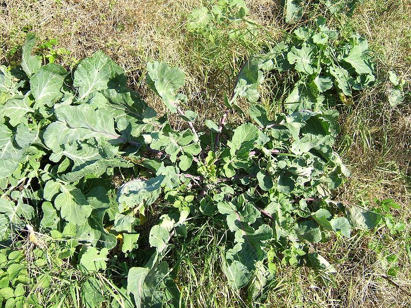 File:Brassica oleracea0.jpg