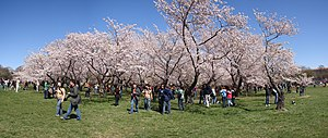 English: A grove of cherry trees on the nation...