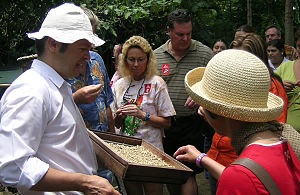 English: Coffee picking in Costa Rica
