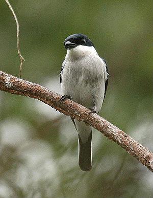 A Black-winged Flycatcher-shrike (Hemipus hiru...