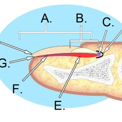 Diagram Of Human Nail 2005 Ford Focus Zx4 Wiring File Anatomy Jpg Wikimedia Commons