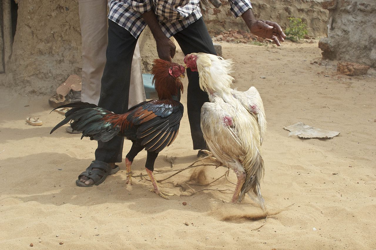Chicken Fights Mexico