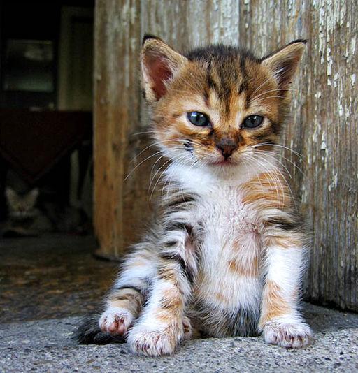 Mihail Manolov - Little Kitten (by-sa)