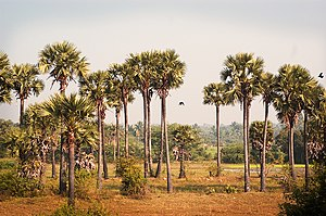 English: Palm Trees in Tamil Nadu