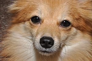 English: The Pomeranian it is known as a Pom, ...
