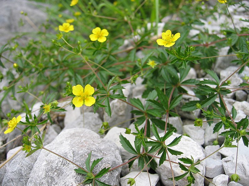 File:Potentilla erecta01.jpg