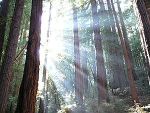 Sunlight shining through redwood trees at the ...