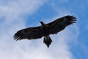 Wedge tailed eagle in flight03