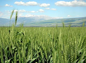 Wheat in the Hulah valley, 2007
