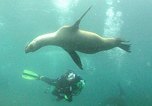 English: Diver and juvenile Sea Lions, Anacapa...