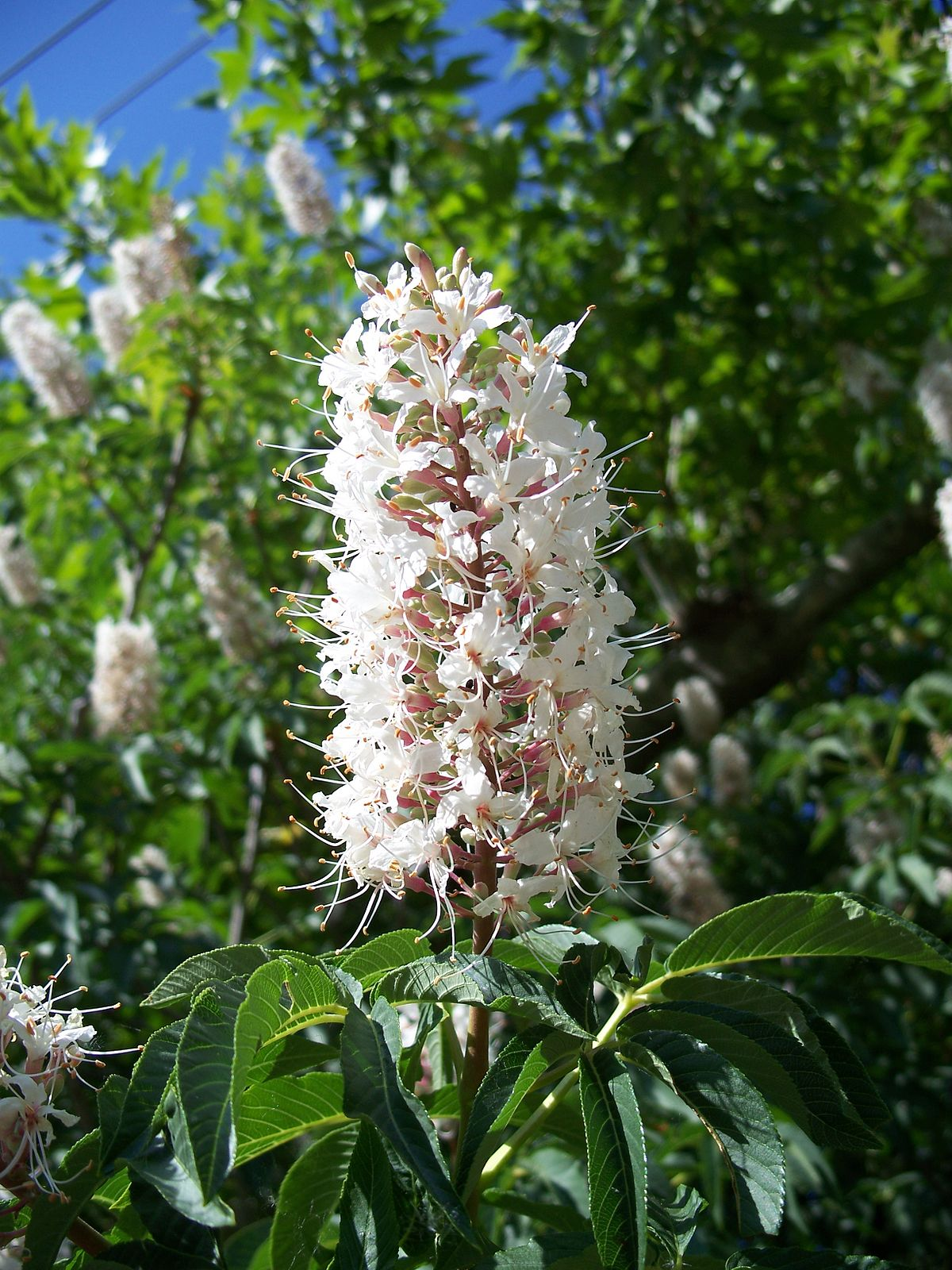 Aesculus californica  Wikispecies