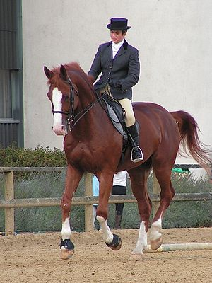 The Westphalian excels in dressage
