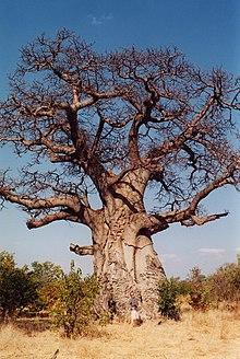 Baobob treejpg