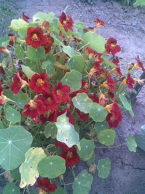 English: Garden Nasturtium, Indian Cress or Mo...