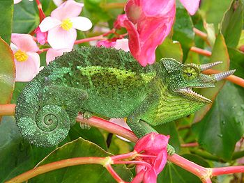 I photographed this feral Jackson's Chameleon ...