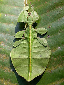 I want one so badly! [Leaf insect, Phylliidae order]