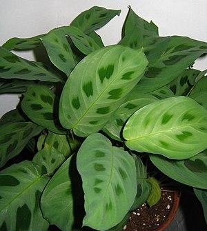 Marantaceae kerchoviana