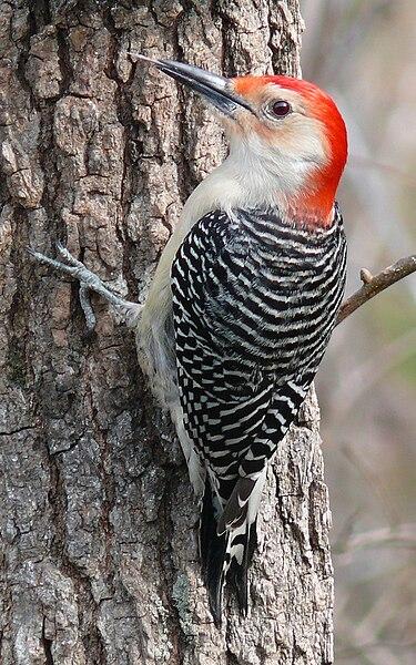 File:Red-bellied Woodpecker-27527.jpg