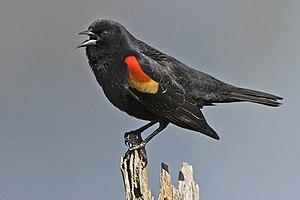 Red-Winged Blackbird (Male), Colony Farm Regio...