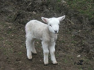 Spring Lamb near Haygill Farm. Now where's tha...