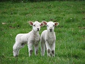 English: Twin lambs