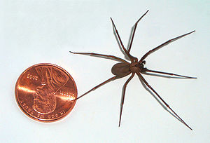 English: brown recluse as compared to a U.S.A....