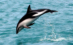 "A dusky dolphin named ""Nox""."