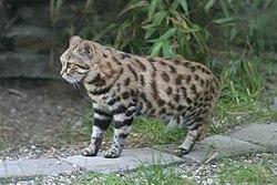 黑足貓 - 維基百科。自由的百科全書