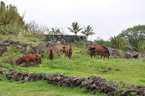 Free-range horses, Rapa Nui.