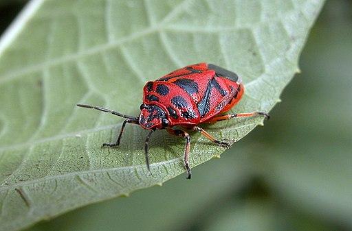 Heteroptera fg01