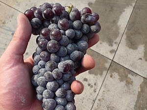 The Italian grape variety Nebbiolo known for t...