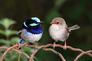 Superb fairy wrens mark 2