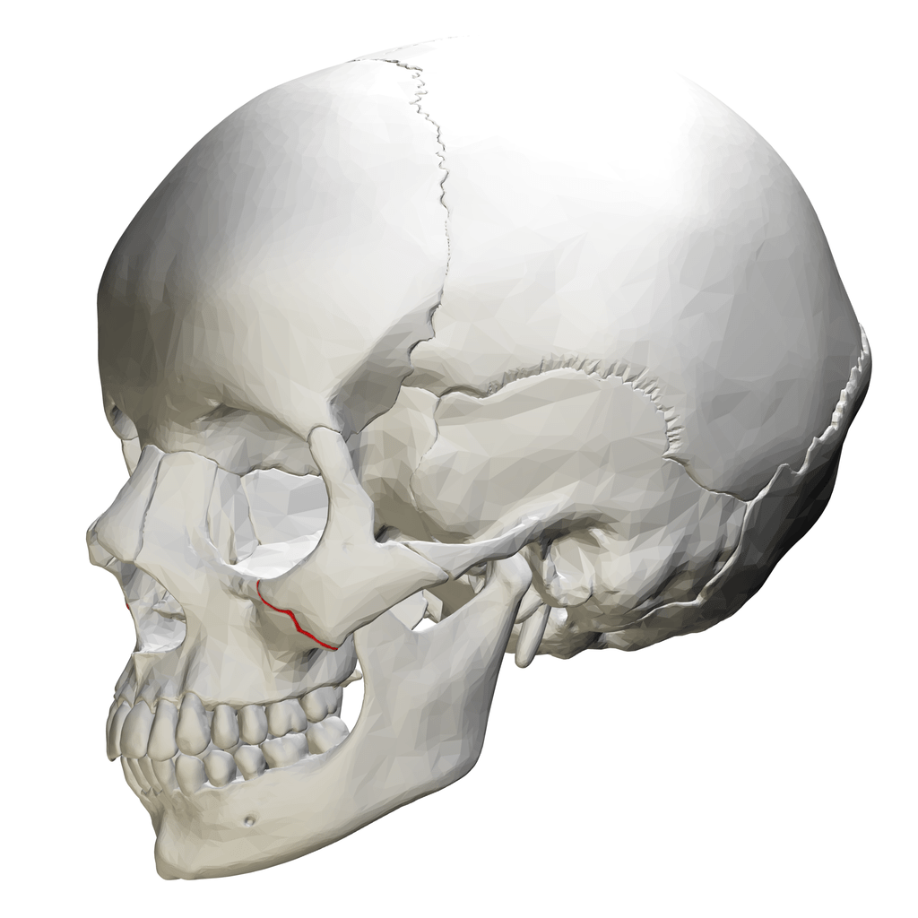 lateral view skull sutures diagram 2000 chevy s10 wiring file zygomaticomaxillary suture view01