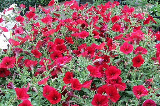 Colorful petunia plants
