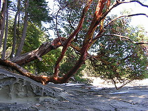 Arbutus trees and sandstone beaches are common...
